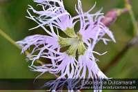 Dianthus superbus (subsp-superbus)