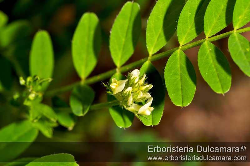 Astragalus hamosus