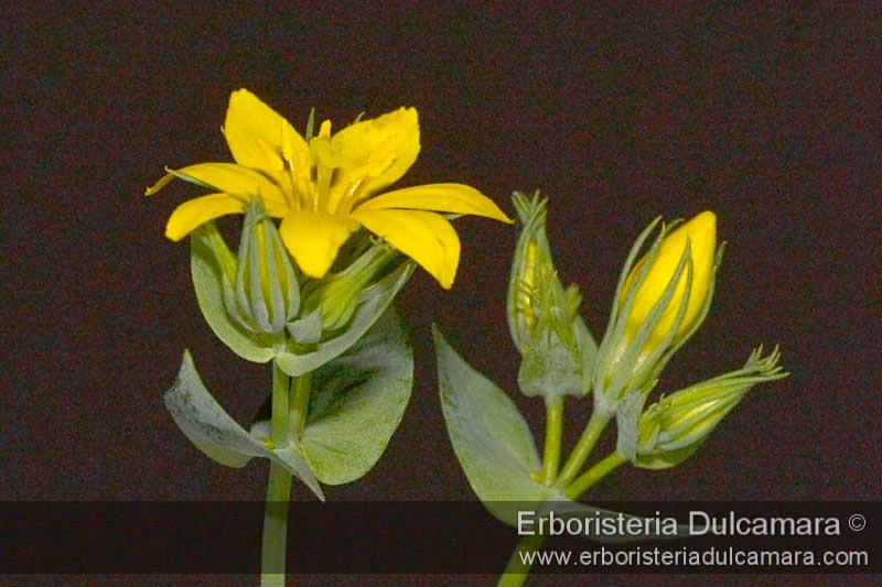 Blackstonia perfoliata