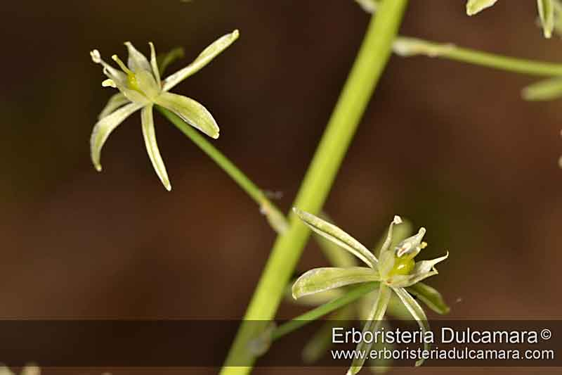 Loncomelos pyrenaicus