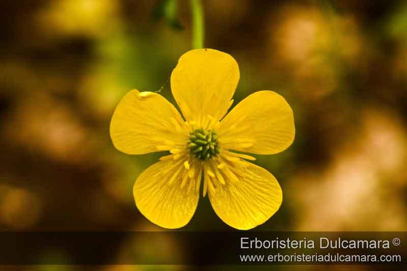 Ranunculus velutinus