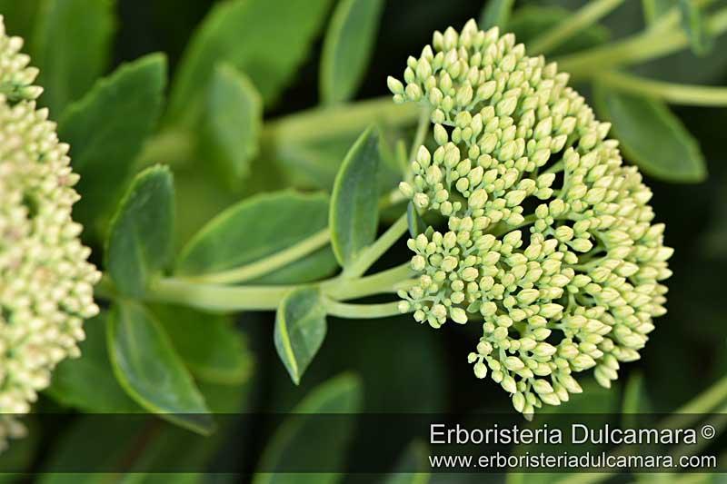 Sedum telephium subsp. maximum