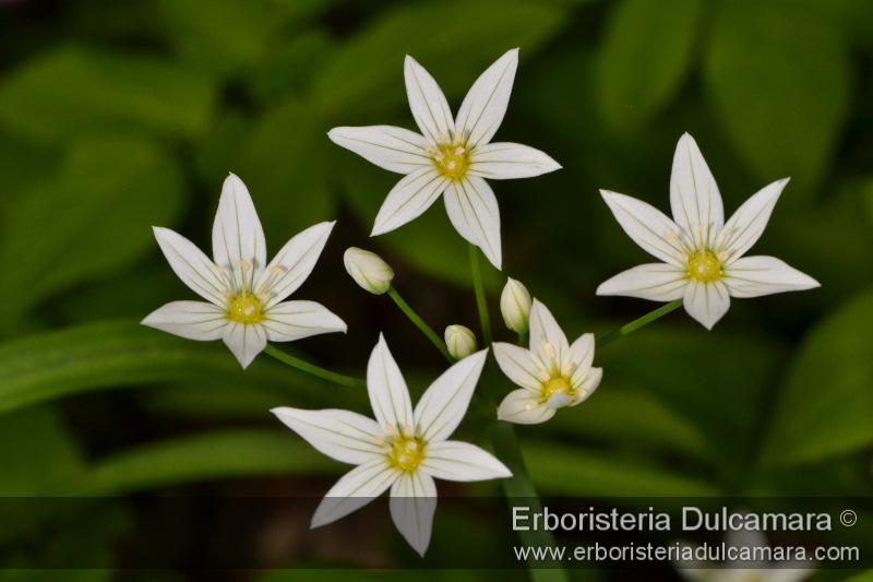 Allium pendulinum