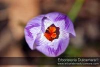 Crocus etruscus