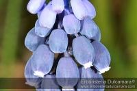 Muscari racemosum