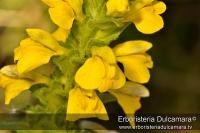 Bartsia trixago