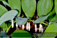 Polygonatum odoratum