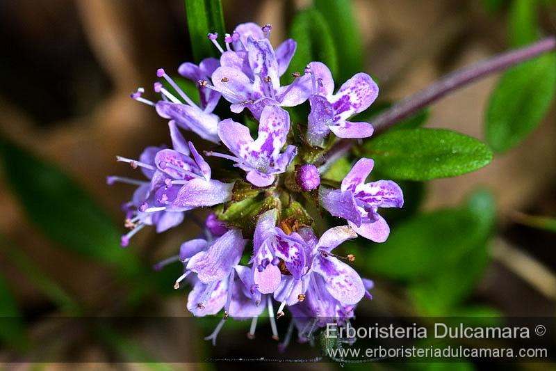 Thymus serpillum