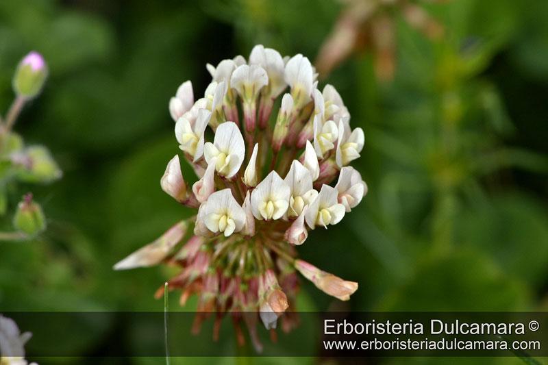 Trifolium repens,