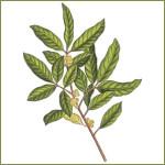 Muira Puama