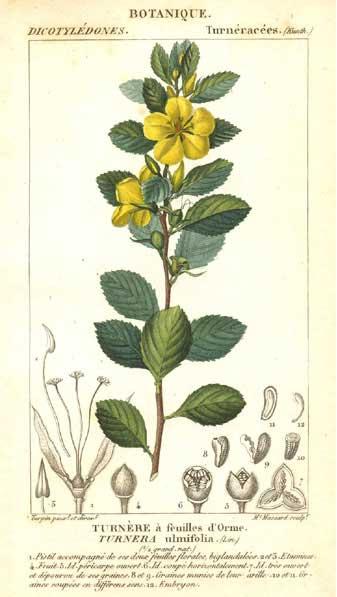 Damiana (Turnera aphrodisiaca) Tavola Botanica