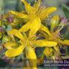 Iperico (Hypericum perforatum)